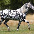馬の種類:アパルーサ