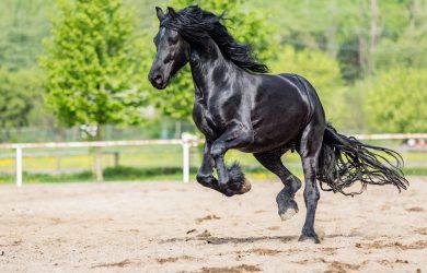 馬の種類:フリージアン馬